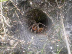 Воронковые пауки.