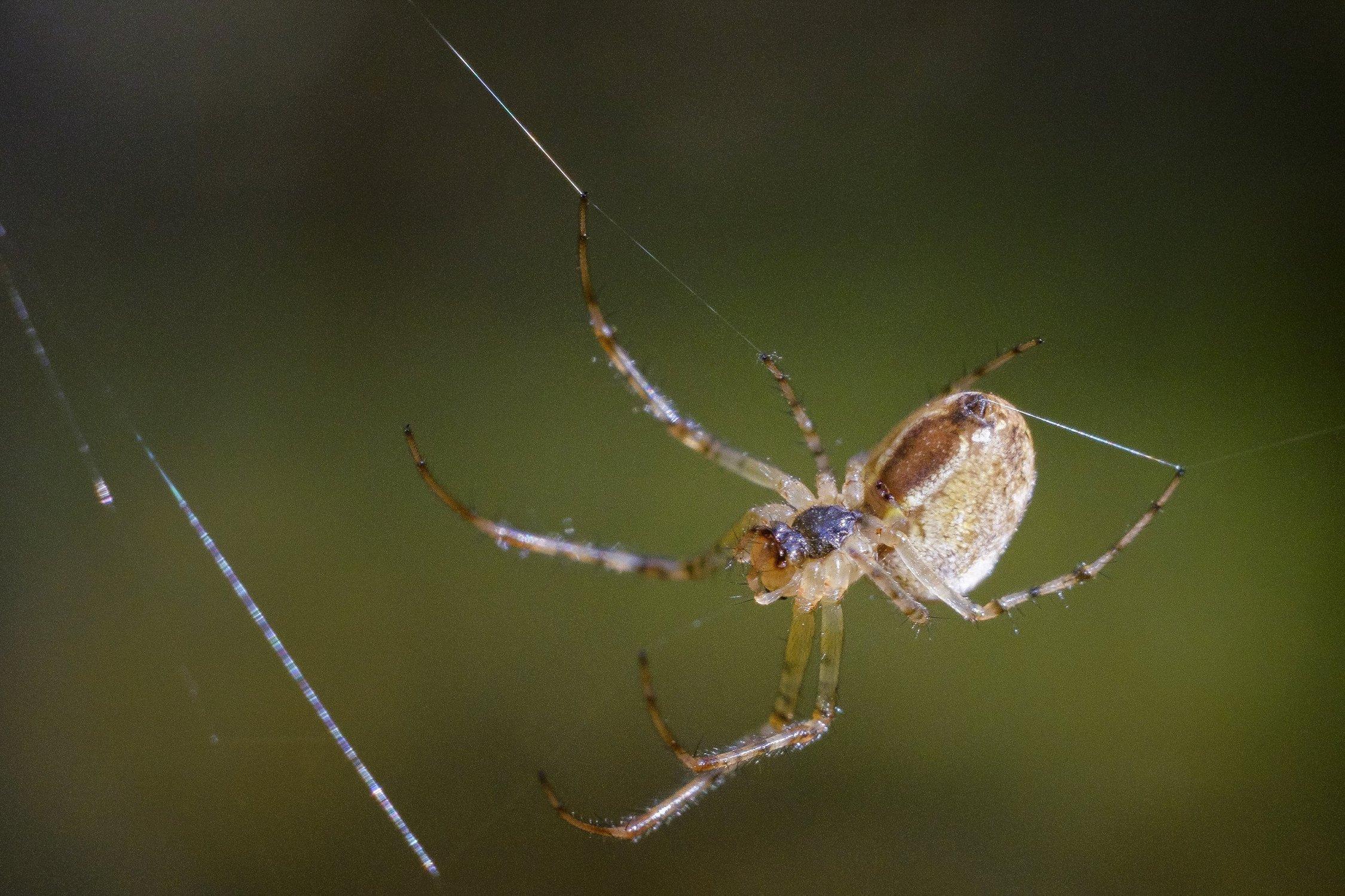 Эти хрупкие на вид паучки входят в семейство тетрагнатид. Они окрашены в светлый серый или коричневый цвет, имеют продолговатое небольшое тельце и длинные тонкие ноги. Длина тела вязальщиков может достигать 30 мм. Вид очень редко встречается в постройках и предпочитает селиться в садах, парках и лесах. Яд паука вязальщика абсолютно безвреден для человека.