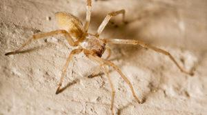Жёлтый паук.