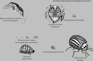 Жизненный цикл колорадского жука.