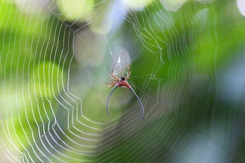 Это создание сложно назвать пауком. Главной особенностью является наличие длинных рог. Они придают пауку устрашающий вид, при виде которого хочется просто сбежать.