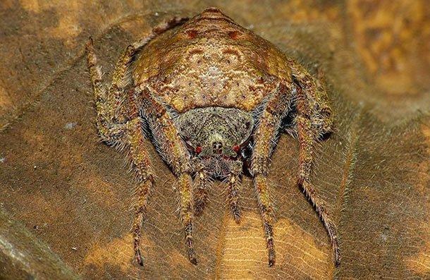 Обитает в Австралии. Паук примыкает к стволам деревьев и веток, обматывая их собой. Это отличная маскировка для охоты на насекомых. Для человека он безвреден. Однако его вид наводит ужас и страх.