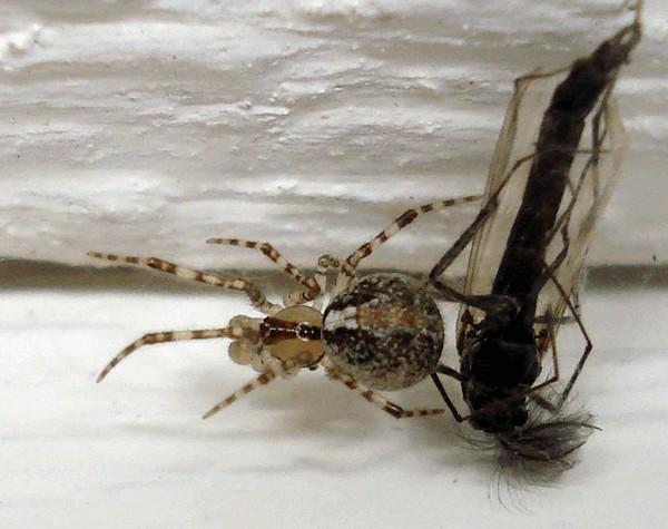 Один из распространённых видов пауков. Встречается часто в траве, между деревьями, на поверхности грунта. Они встречаются на опушках хвойных деревьев и на ветвях в посадках.  Животное имеет светло или тёмно-коричневый цвет брюшка, желтоватые хелицеры и необычный рисунок на спинке. Изображение может выглядеть как чуть ассиметричная ёлочка.
