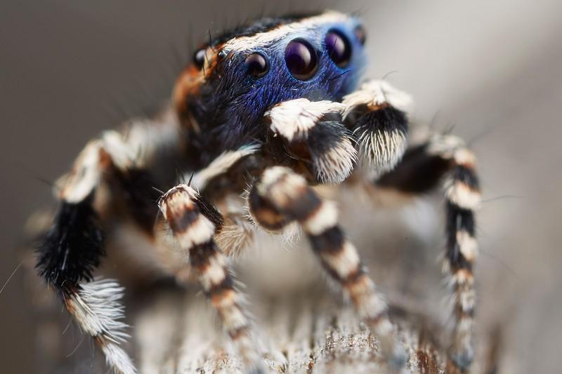 Крошечный паучок из семейства скакунов. Место обитания — Западная Австралия. Сложно рассмотреть его полностью. Длина тела до 5 мм. На глазах есть маска для привлечения женских особей. Чтобы привлечь самок, мужские особи танцуют, поднимая вверх конечности.