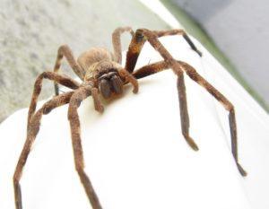 Самые большие пауки.