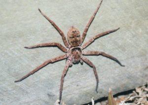 Австралийские пауки.