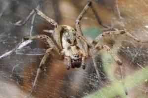 Воронковый паук.
