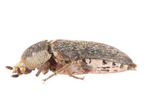 Жук длиной 5-10 мм, надкрылья тёмно-коричневые, покрытые желтыми волосками. Питается он разлагающими останками трупов. Личинки очень прожорливы и могут поедать куколок своего вида.