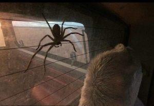 Гигантский крабовый паук.