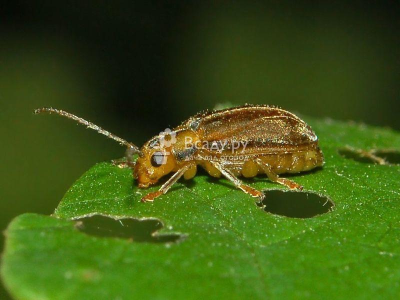 Насекомое имеет буро-жёлтый окрас. Тело овальной формы, присутствуют густые короткие волоски. Личинки жёлто-зелёного цвета. В верхней части тела есть бурые бугорки.