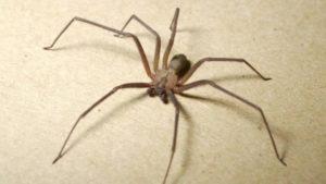 Австралийский паук.