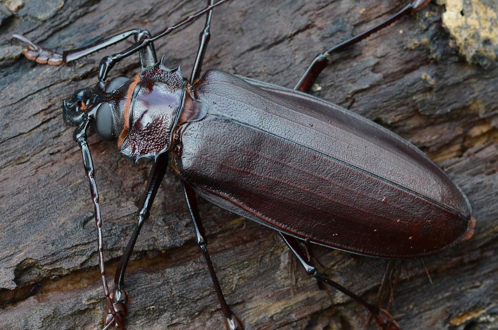 Это наиболее крупный представитель среди жуков. Тело достигает 20 см. Усы также около 20 см. Окрас коричневый или смоляной. Этот вид не особо изучен. Взрослая особь живёт не более 5 недель. Всё это время происходит брачный ритуал. Места обитания – Перу, Колумбия, Эквадор, Венесуэла.