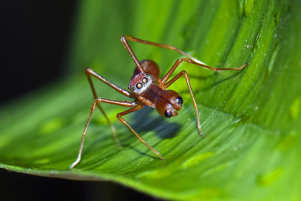 Этот вид входит в семейство пауков-скакунов. Их характерной чертой является схожесть со своими природными врагами – муравьями-ткачами. Тело взрослых самцов этого вида в длину достигает всего 6-7 мм, при этом самки могут быть вдвое больше. Средой их обитания являются джунгли Юго-Восточной Азии. Муравьиные скакуны пугливы и совершенно безвредны для человека.