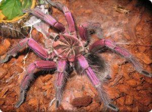 Самый большой паук.