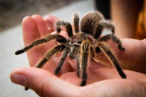 Ядовитые пауки.