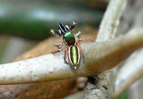 Это наиболее уникальная разновидность. У паука есть способность вить гнездо. Они создают небольшие группы и селятся в домике. Мужские особи занимаются уходом за потомством. Рацион — листья акации. При отсутствии пищи может съесть своих сородичей. Место обитания — Центральная Америка.