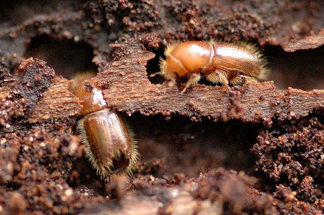 Ксилофаг в длину бывает до 10 мм, тело бурого или коричневого цвета. Этот вид короеда поселяется в старых трухлявых деревьях, и питается древесиной и растущими на дереве грибами.