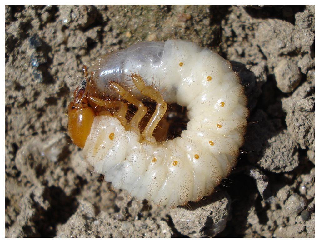 Личинки майского жука находятся там, где им достаточно питания. Это места около растений, до чьих корней легко достать. Также часто их можно встретить около клубней, которые они с удовольствием поедают. Одна личинка за несколько сезонов может уничтожить огромный участок.