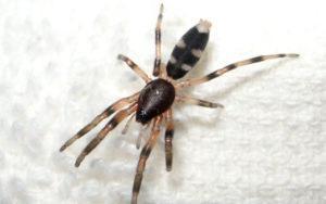 Ядовитые пауки Австралии.
