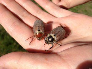 Жуки насекомые.