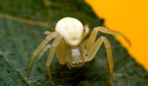 Белый паук.