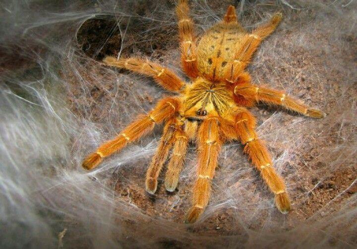Из 5 вариантов оттенков самым популярным является оранжевый. Этого паука называют «Вспышка звезды» за столь яркий цвет. Еще одно название «Рыжий дьявол» описывает характер птицееда.  Он агрессивен и хитёр, обороняется и нападает не задумываясь. Подходит для тех, кто имел дело с агрессивными пауками, не боится токсичных ядов и сможет предоставить достойные условия.