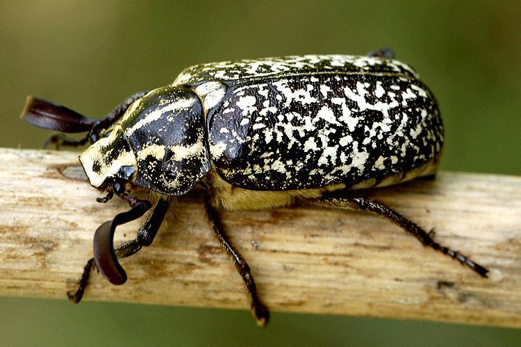 Взрослая особь 40 мм в длину. У жука характерный мраморный узор. Тёмное тело усыпано белыми пятнышками. Расцветка напоминает мраморное покрытие. Обитает в южной части Европы. Рацион состоит из листьев и цветков. Личинки питаются корнями растений.