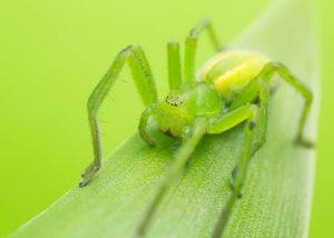 Зеленые пауки.