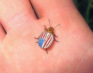 Откуда взялся колорадский жук.