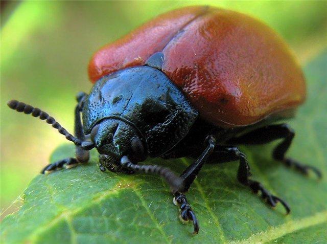Жук чёрно-синего цвета и с ярко-красными надкрыльями. Длина тела от 1 до 1,2 см. Личинки серо-белые или светло-зелёные. В верхней части есть чёрные точки. Конечности и голова чёрного цвета.