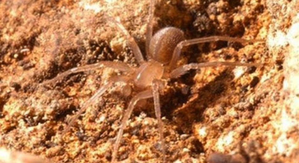 Это безликий ядовитый паук-охотник. У него отсутствуют глаза. Его природный инстинкт помогает ему охотиться без них. Среда обитания – пещеры.