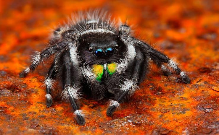 Этот вид является одним из самых маленьких среди пауков-скакунов. Длина тела самки не превышает 6 мм, а самца – 4-5 мм. Представители этого вида считаются самыми высокогорными пауками. Они были замечены альпинистами на высоте 6700 метров над уровнем моря. Удивителен тот факт, что учёные не обнаружили никаких особенностей в строении их тела, которые бы помогали им выживать в таких экстремальных условиях.