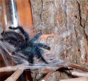 Фото паука птицееда.