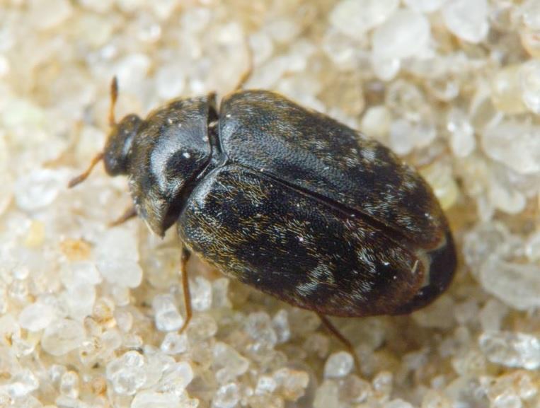 Его также называют жук капровый. Тело жука 2-3 мм, оно овальное, коричневое, покрыто светло-желтыми волосками. Питается зерновыми культурами, арахисом и копрой.