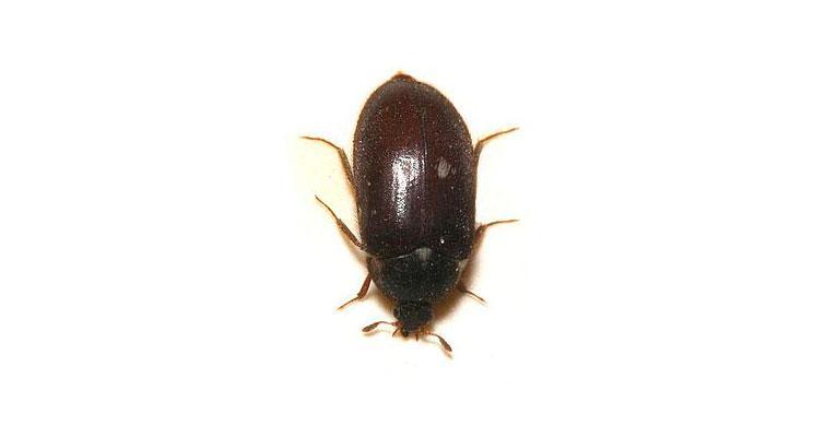 Длина тела этого жука 4-6 мм, он чёрного цвета с надкрыльями коричневого цвета с белыми полосками. Питается он пищевыми продуктами, и считается самым безобидным среди своих сородичей.