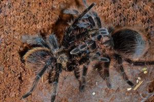 Как выглядит тарантул.