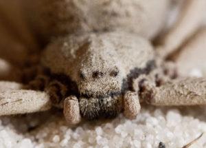 Самые ядовитые пауки.