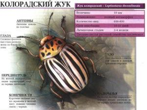 Колорадский жук: фото.