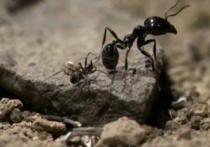 Пауки муравьеды.