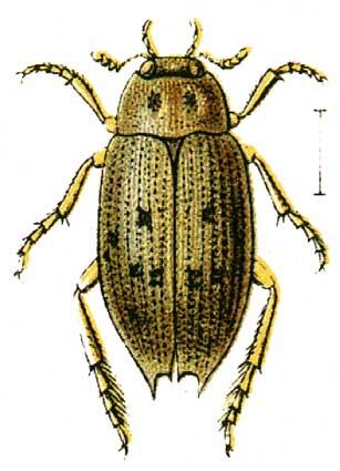 Мелкий серо-бурый или коричневый жук, издаёт неприятные звуки.