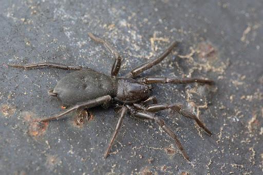 Безобидные земляные пауки размером до 10 мм. Они по большей части имеют жёлто-коричневый окрас, но существуют и яркие представители. Активные ночные охотники не плетут паутину, а ожидают своих жертв в засаде.