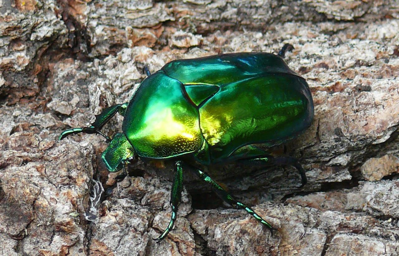 Выглядит привлекательно, зелено-голубого цвета с металлическим отливом. Предпочитает жить в лесах Европы, Центральной и Южной России. Этот подвид редкий и занесен в Красную Книгу.