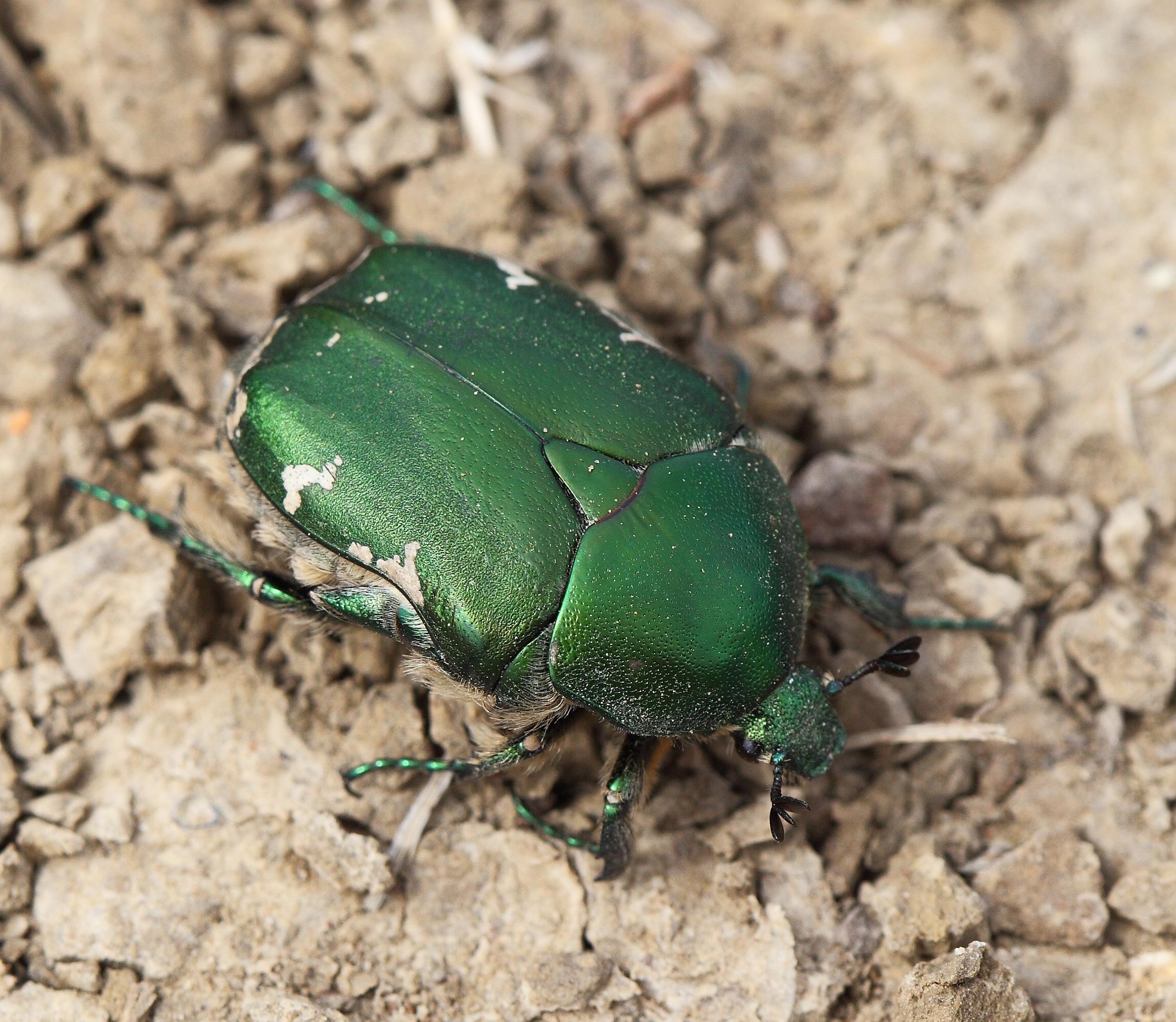 Жук зеленого цвета, насыщено травянистого. Иногда на нём металлический отлив и белесые пятна. Обитает в степных зонах РФ и стран Европы.