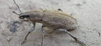 Серо-бурый жук размером 15 мм, имеет короткий хоботок.