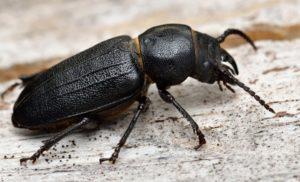 Черный жук в квартире.
