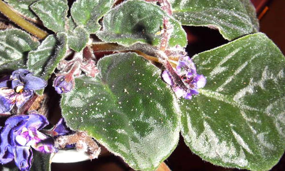 Малюсенькие насекомые размером 2 мм быстро размножаются и много едят. В зависимости от видов насекомое может быть разных цветов, от практически белесого и зеленоватого, до ярко-красного. Они питаются соком растений и могут его уничтожить за несколько месяцев. Селиться она колонией на молодых растениях, часто находится на обратной стороне листа.