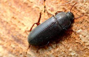 Черный жук в доме.