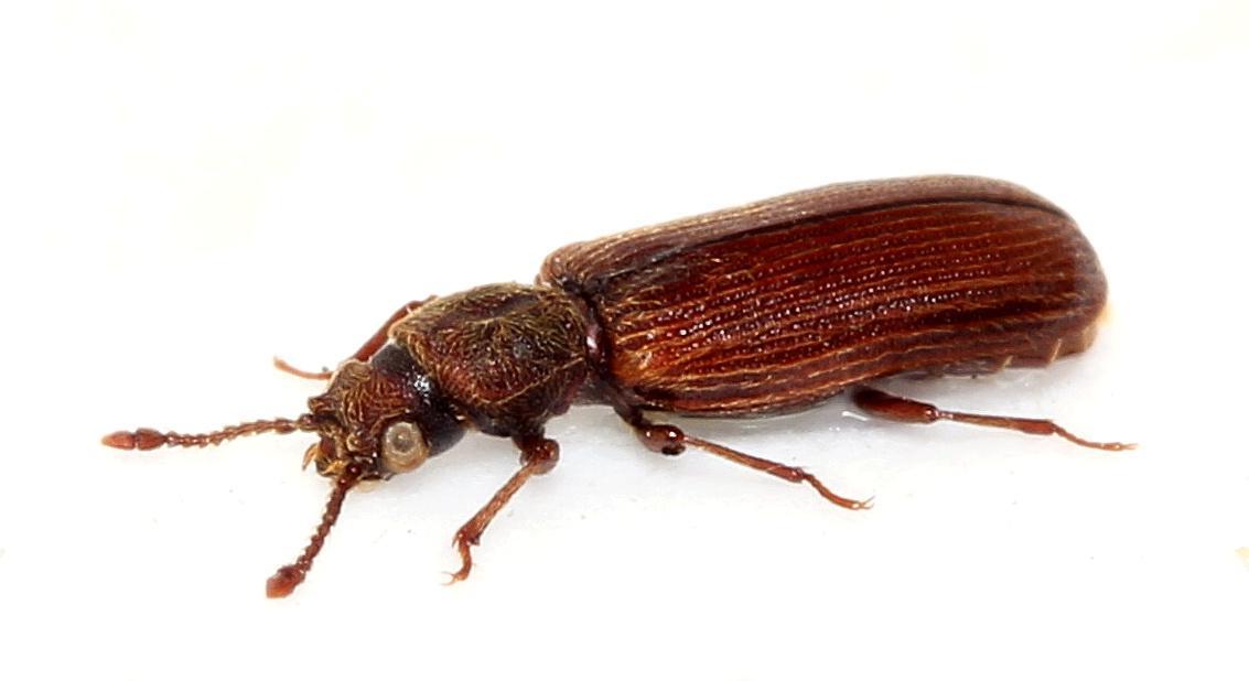 Домовые точильщики – это один из самых крупных видов семейства. Длина тела взрослых особей может достигать 7 мм. Окрас насекомого серый, с небольшим бурым оттенком. По бокам головы домового точильщика имеется два золотистых пятнышка. В отличие от мебельных точильщиков, домовые отдают предпочтение древесине, подверженной влиянию зимних морозов.
