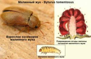 Малиновый жук: фото.