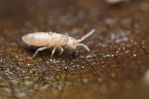 Это маленькие беловатые гусеницы с короткими усиками. Они активно передвигаются и даже могут подпрыгивать. Они не являются вредителями сами по себе, ведь питаются продуктами гниения. Они всегда есть в грунте, но появляются на виду при чрезмерном увлажнении. Появление ногохвосток – признак чрезмерного увлажнения, что может быть причиной гниения корней.